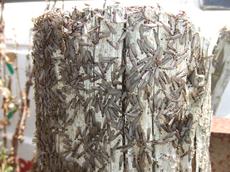 シロアリ、羽アリ、黒アリの違い