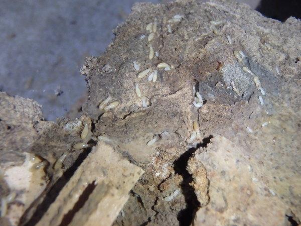 防府市天神にてヤマトシロアリ駆除工事。床下がコンクリートであまり隙間がないところなのに白蟻が??のサムネイル