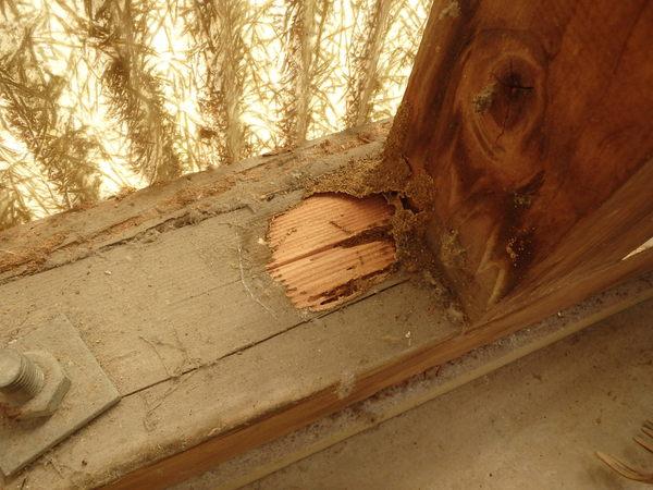 防府市江泊にて白蟻工事のご依頼。差し掛けや外回りにヤマトシロアリがいた!のサムネイル